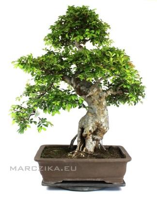 Kínai szil bonsai idős törzzsel és oduval