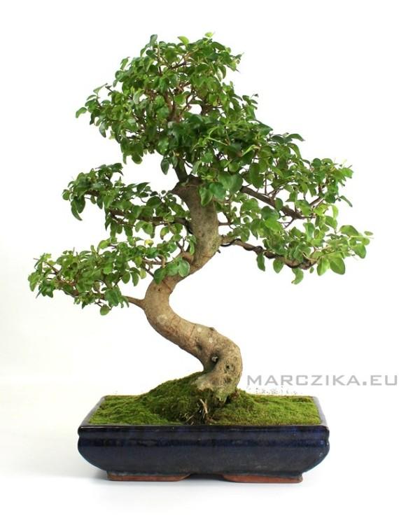 Nagyméretű bonsai - Kínai fagyal