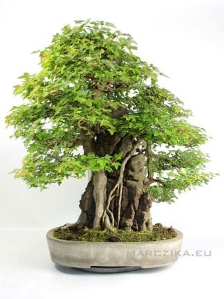 Acer buergerianum - Sekijoju Kaede bonsai Japánból