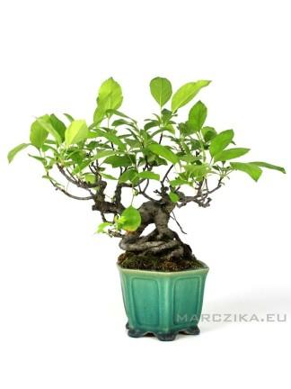Japán shohin bonsai - Malus sieboldii