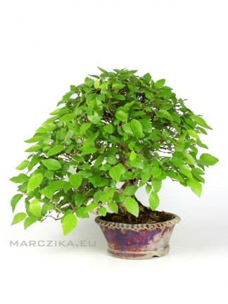 Japán shohin bonsai - Carpinus coreana