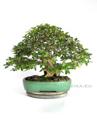 Japán bonsai - Carpinus coreana
