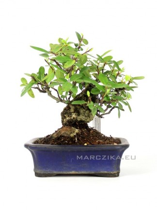 Pyracantha sp. - Japán shohin bonsai Japánból