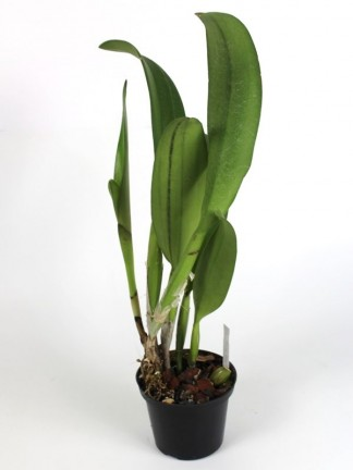 Blc. Young Kong 'Sun' orchidea - Brassolaeliocattleya