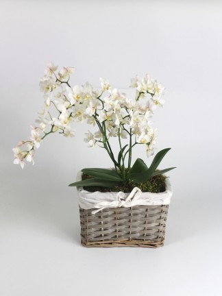 Phalaenopsis white with many flower stalks 01.