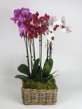 Phalaenopsis orchidea kosárban 02.
