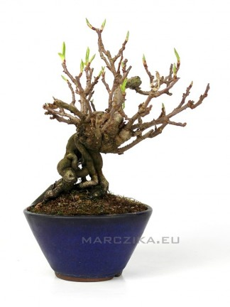 Kadsura japonica neagari bonsai Japánból 06.