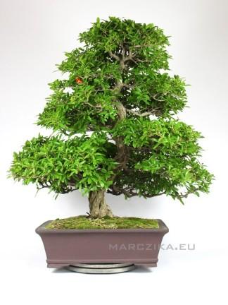 Punica granatum bonsai - idős japán mestermű