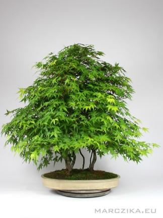 Yose ue Japán juhar bonsai - Momiji