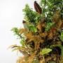 Chaenomeles kusamono Pyrrosia és Selaginella japán összeültetésben