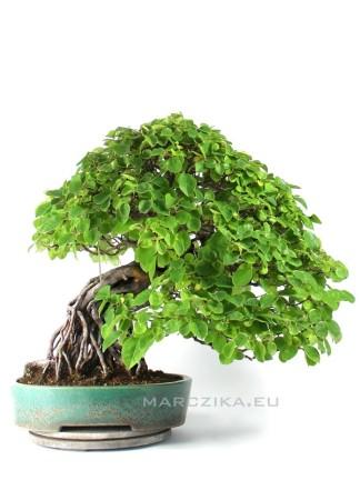 Neagari stílusú Karin bonsai - Pseudocydonia sinensis