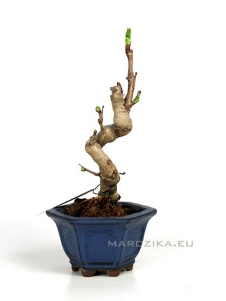 Ginkgo biloba - Japán shohin bonsai 03.