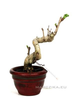 Ginkgo biloba - Japán shohin bonsai 04.