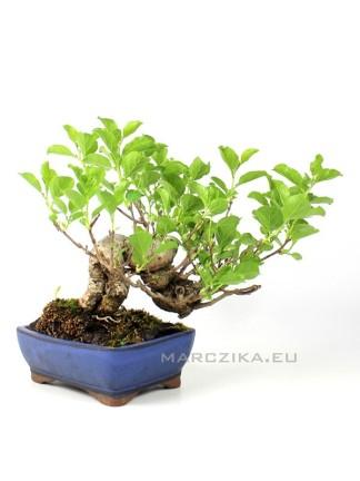 Celastrus Sp. shohin bonsai Japánból