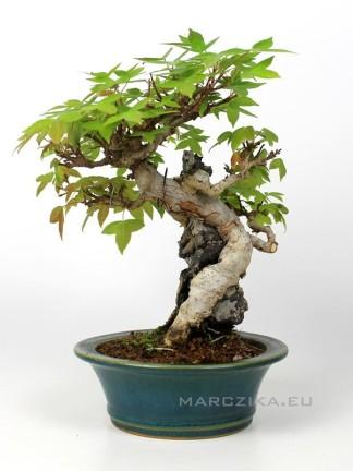 Acer buergerianum sekijoju stílusú shohin bonsai Japánból