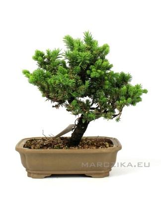 Picea jezoensis shohin bonsai Japánból 13.