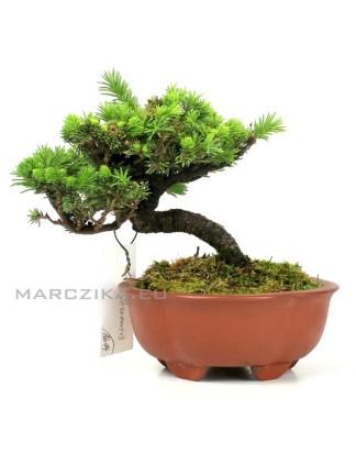 Picea jezoensis shohin bonsai Japánból 14.