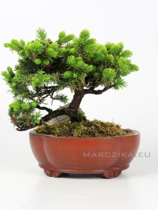Picea jezoensis shohin bonsai Japánból 15.