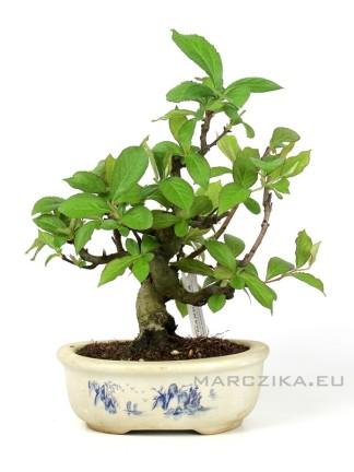 Csavart törzsű Photinia villosa shohin bonsai