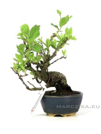 Photinia villosa félkaszkád shohin bonsai Japánból