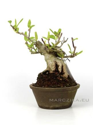 Magnolia stellata shohin bonsai - Pink rosa