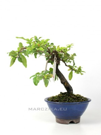 Diospyros kaki shohin bonsai 07.