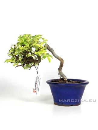 Ulmus parvifolia 'Variegata' - Kínai szil bonsai Japánból 11.