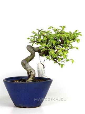 Ulmus parvifolia 'Variegata' - Kínai szil bonsai Japánból 12.