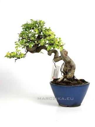 Ulmus parvifolia 'Variegata' - Kínai szil bonsai Japánból 13.