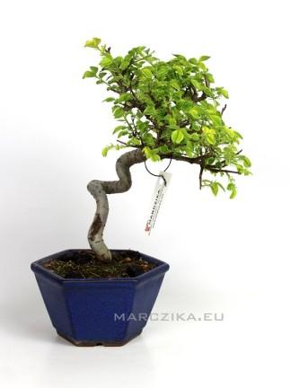 Ulmus parvifolia 'Variegata' - Kínai szil bonsai Japánból 14.