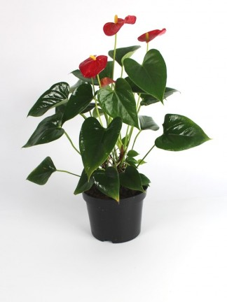 Anthurium (flamingóvirág)