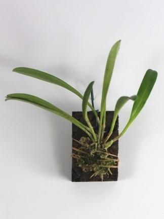 Masdevallia amabilis x tovarensis