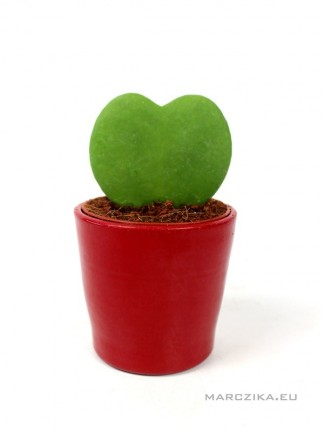 Hoya kerrii- szív alakú viaszvirág