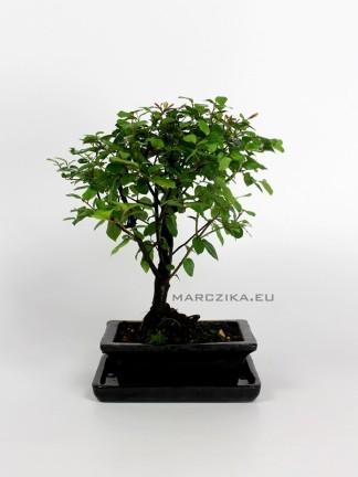 Szagerécia bonsai- Sageretia theezans 02.