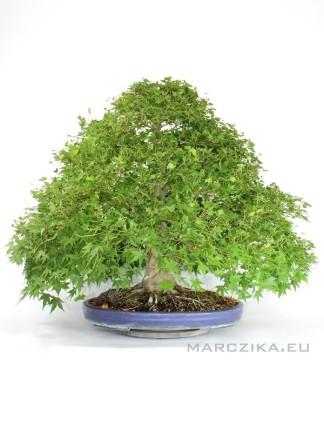 Japán juhar bonsai - Momiji klasszikus stílusban