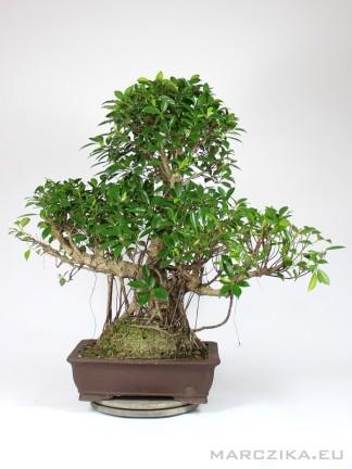 Beltéri bonsai léggyökerekkel - 80 cm magas Ficus retusa 'Tajvan'