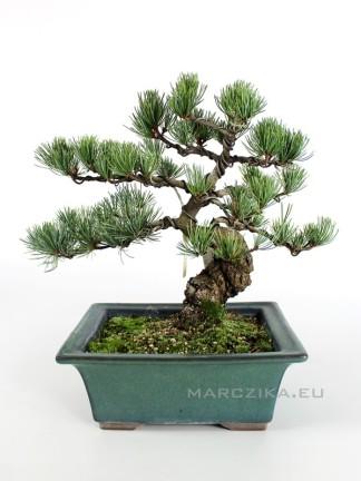 Japán fenyő bonsai - Pinus parviflora - N1.