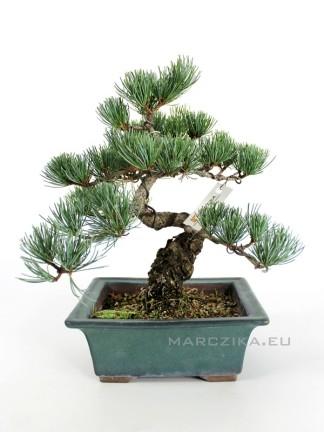 Japán fenyő bonsai - Pinus parviflora - N2.