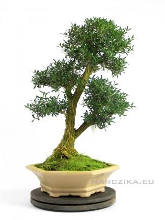 Sokan stílusú beltéri bonsai - Buxus harlandii