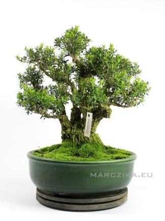 Buxus harlandii bonsai 25.