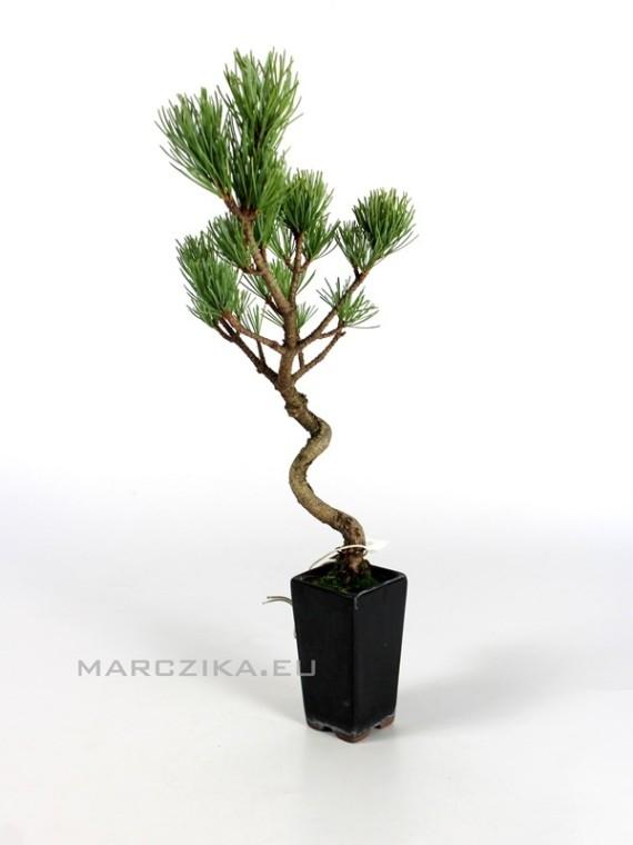 Pinus pentaphylla - moyogi törzsű shohin bonsai 1.