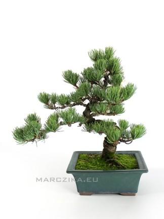 Japán fenyő bonsai - Pinus parviflora - N4.