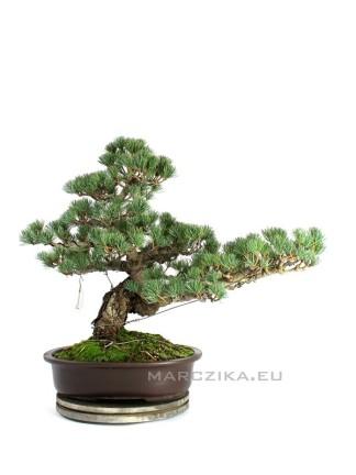 Klasszikus japán fenyő bonsai ( Goyomatsu ) - Pinus parviflora