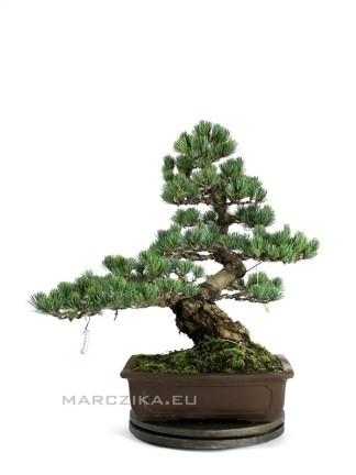 Klasszikus japán fenyő bonsai - Goyomatsu