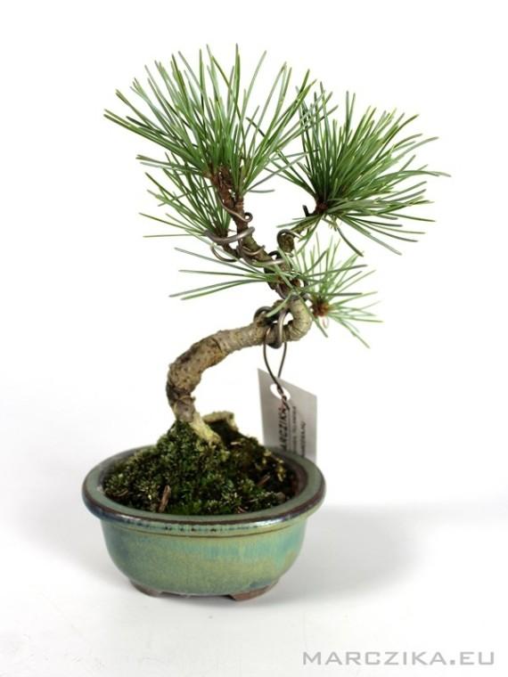 Japán mini fenyő bonsai - Pinus parviflora N11