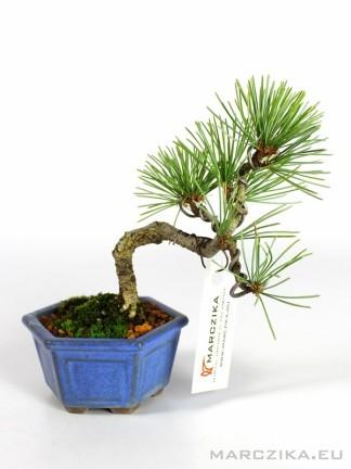 Japán mini fenyő bonsai - Pinus parviflora N9