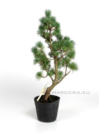 Pinus parviflora pre bonsai - Japán bonsai alapanyag