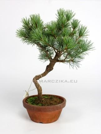 Goyomatsu pre bonsai - Japán fehérfenyő alapanyag
