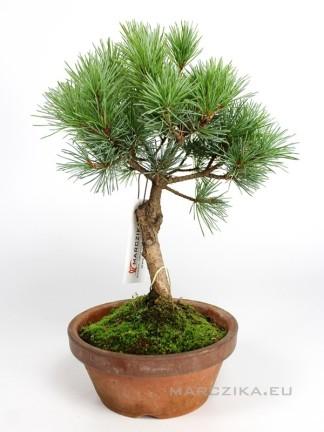 Goyomatsu pre bonsai - Pinus parviflora alapanyag