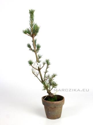 Goyomatsu pre bonsai - Pinus parviflora 'Kokonoe' alapanyag